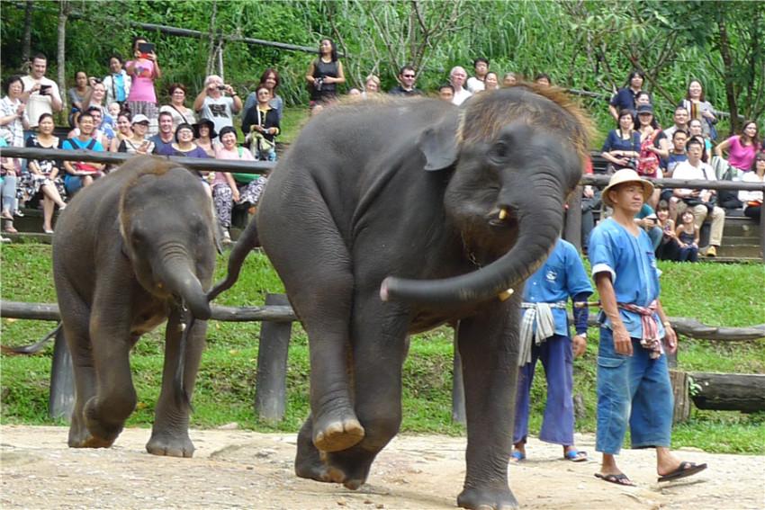【当地参团】清迈湄登大象园-- 骑大象过河穿越丛林(含往返酒店接送)