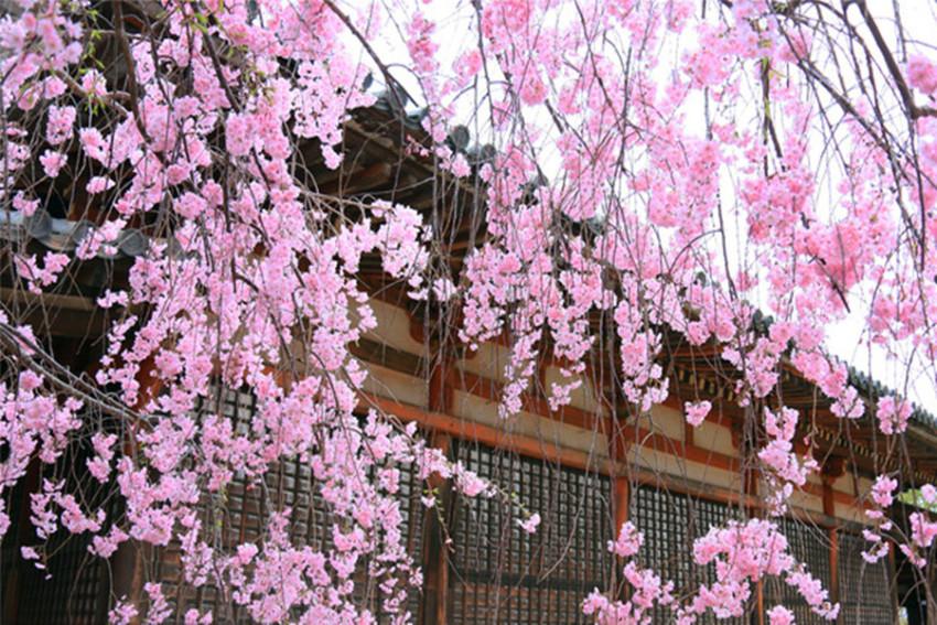 【吉野山赏樱一日游】修行赏樱:吉野山+法隆寺