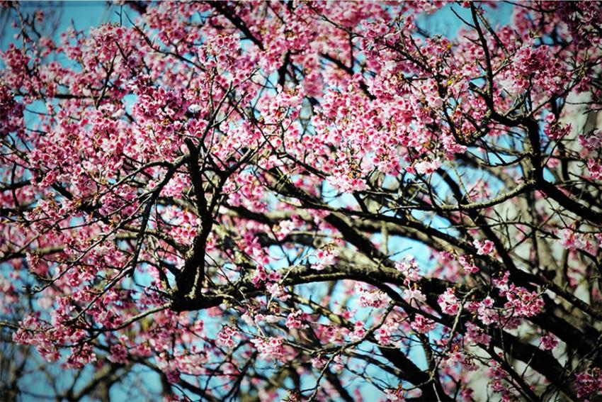 【一日游】台湾之春:台北阳明山赏樱温泉之旅