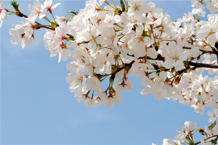 【南投赏樱一日游】青青草原+小瑞士花园+日月潭+九族文化村花季