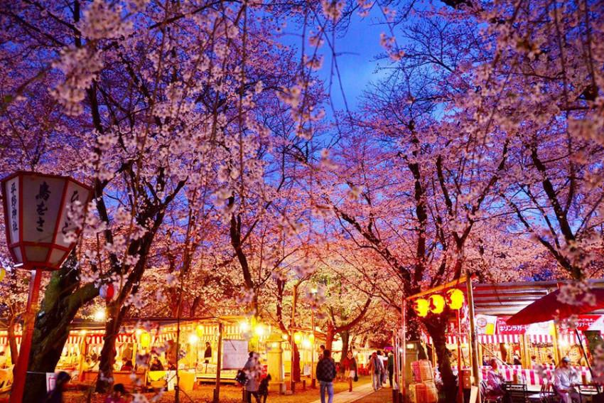 【京都夜樱路线】木屋町通+平野神社+二条城+祗园