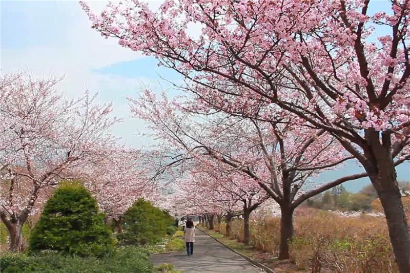 【札幌-小樽赏樱一日游】小樽公园+小樽运河+八音盒 北一哨子+円山公園/北海道神宫+大通公园