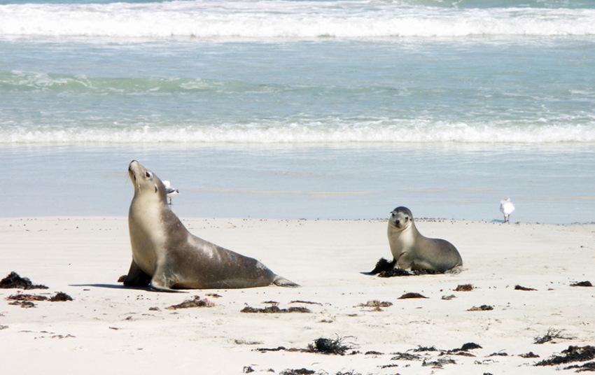 【阿德莱德袋鼠岛两日游】逍遥全景游:海豹湾+小撒哈拉沙漠+Flinders Chase国家公园+Emu Bay+希望山