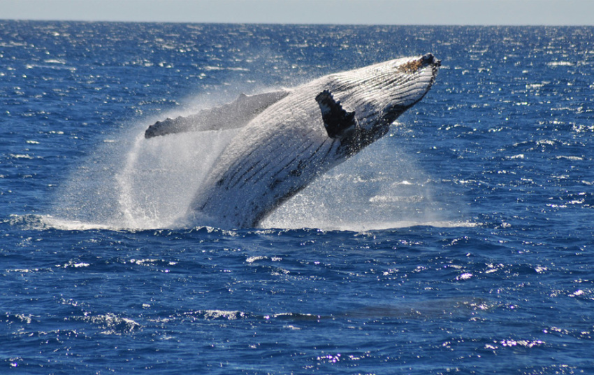 【冲绳出海赏鲸】出海赏鲸半日游,2人起订(看不到包退)